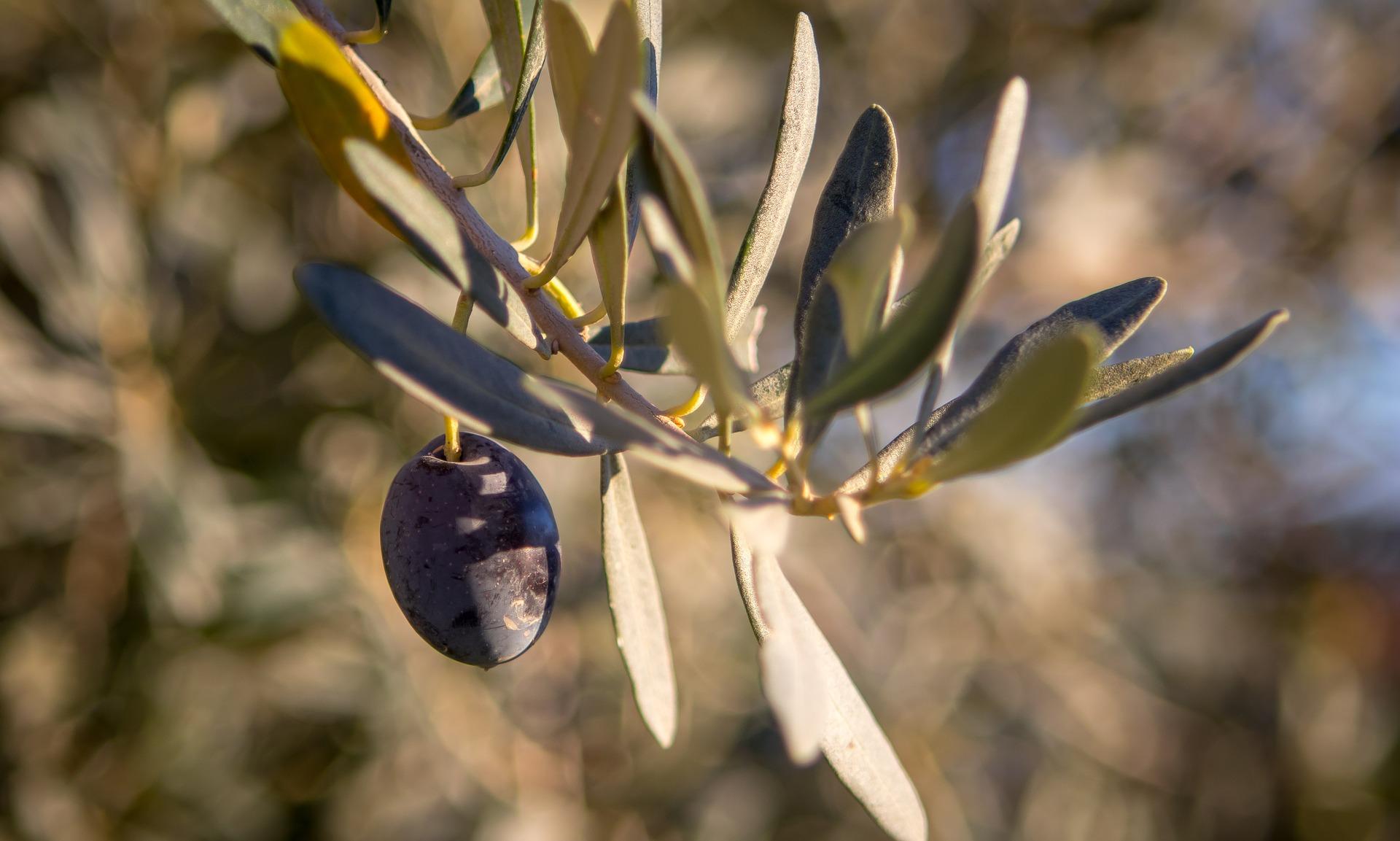 Lavorazione delle olive e spremitura a freddo