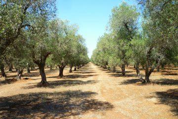 Olio extravergine di oliva di peranzana