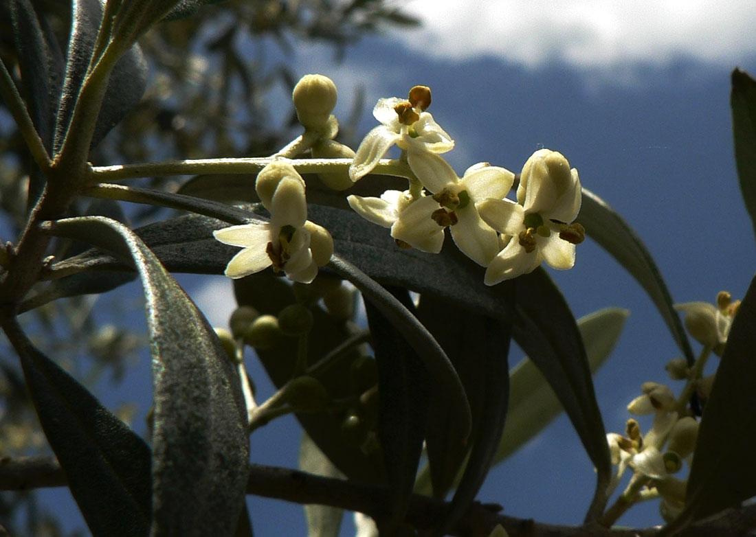 fioritura olivi