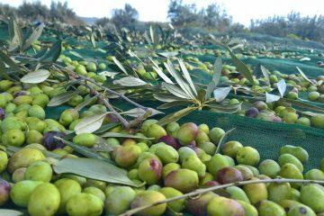 Olio extravergine di oliva in CONVERSIONE BIOLOGICA