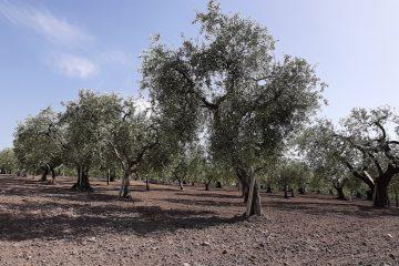 origini-della-cultivar-peranzana
