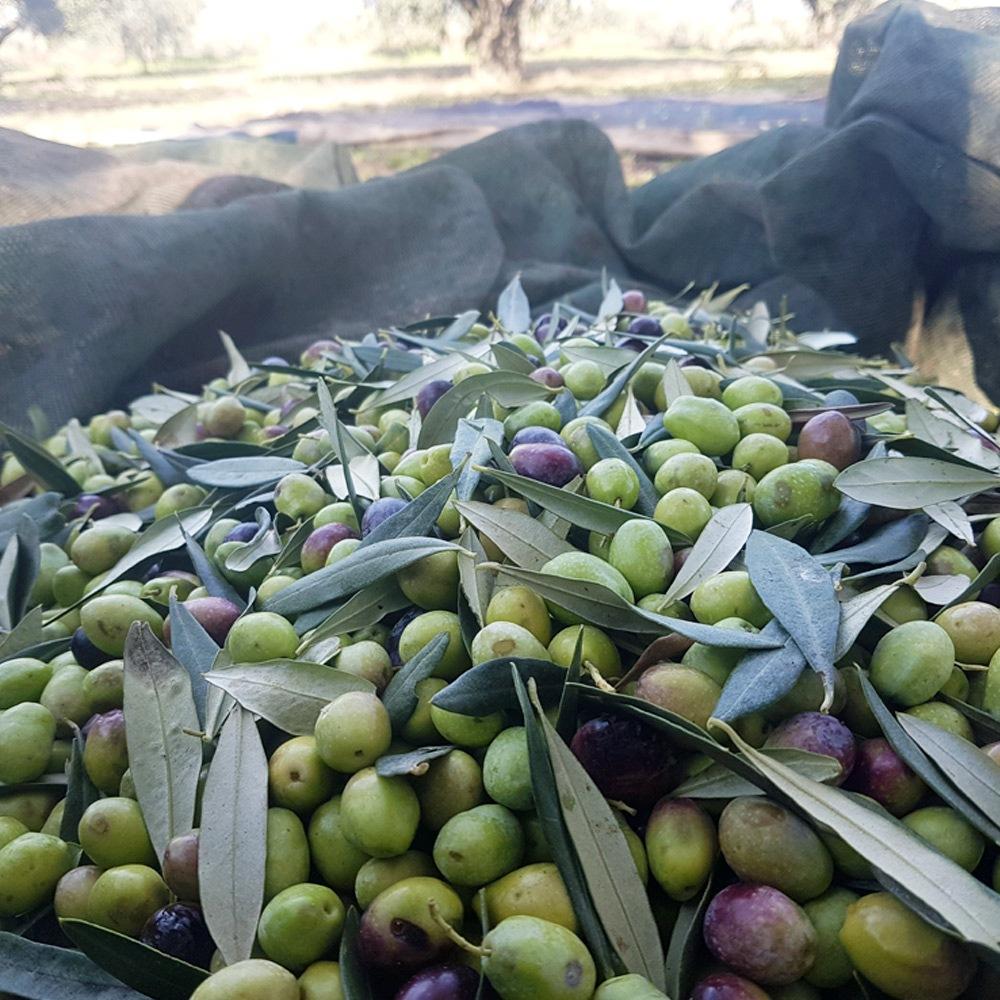 Il-clima-per-le-olive