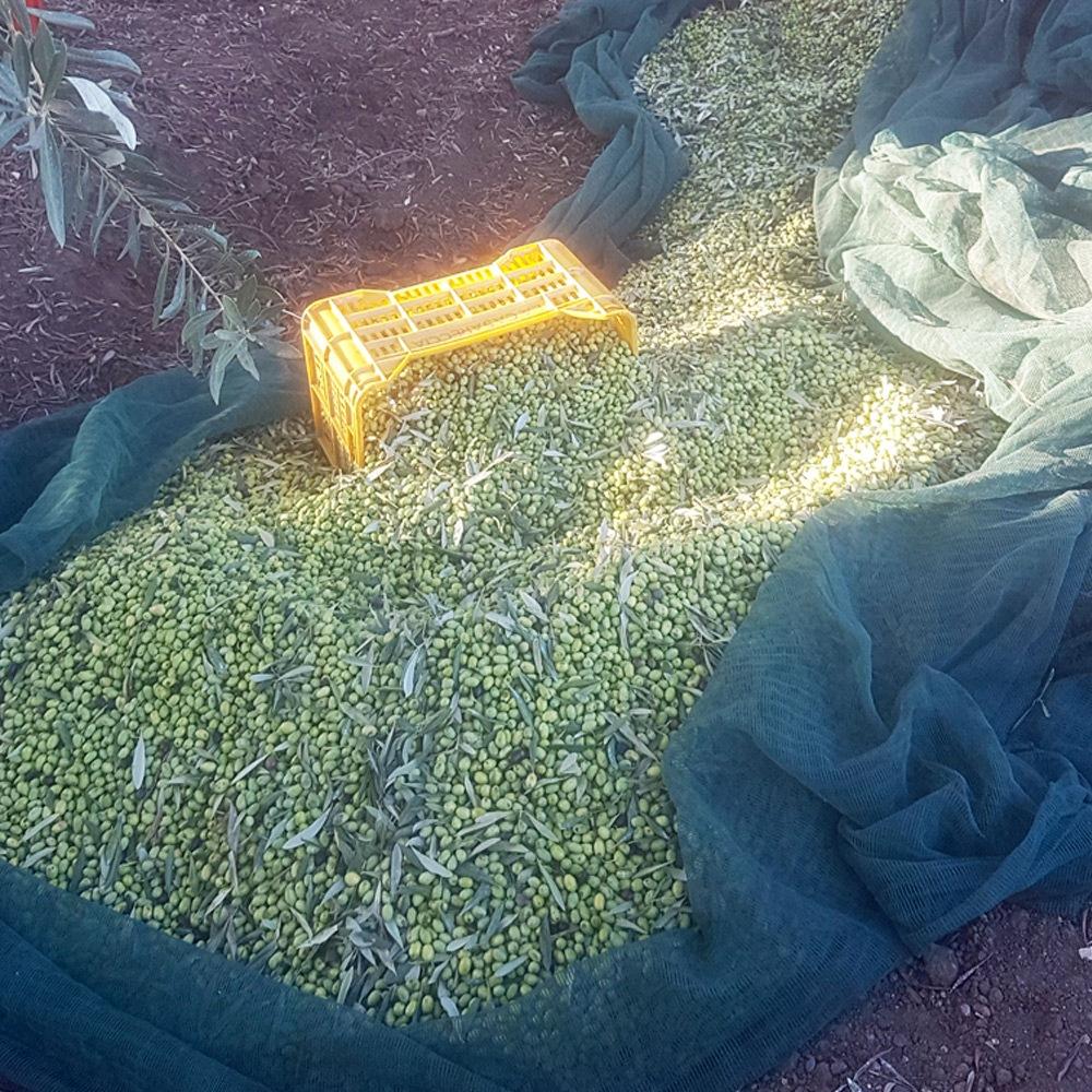 scopo-finale-raccolta-olive