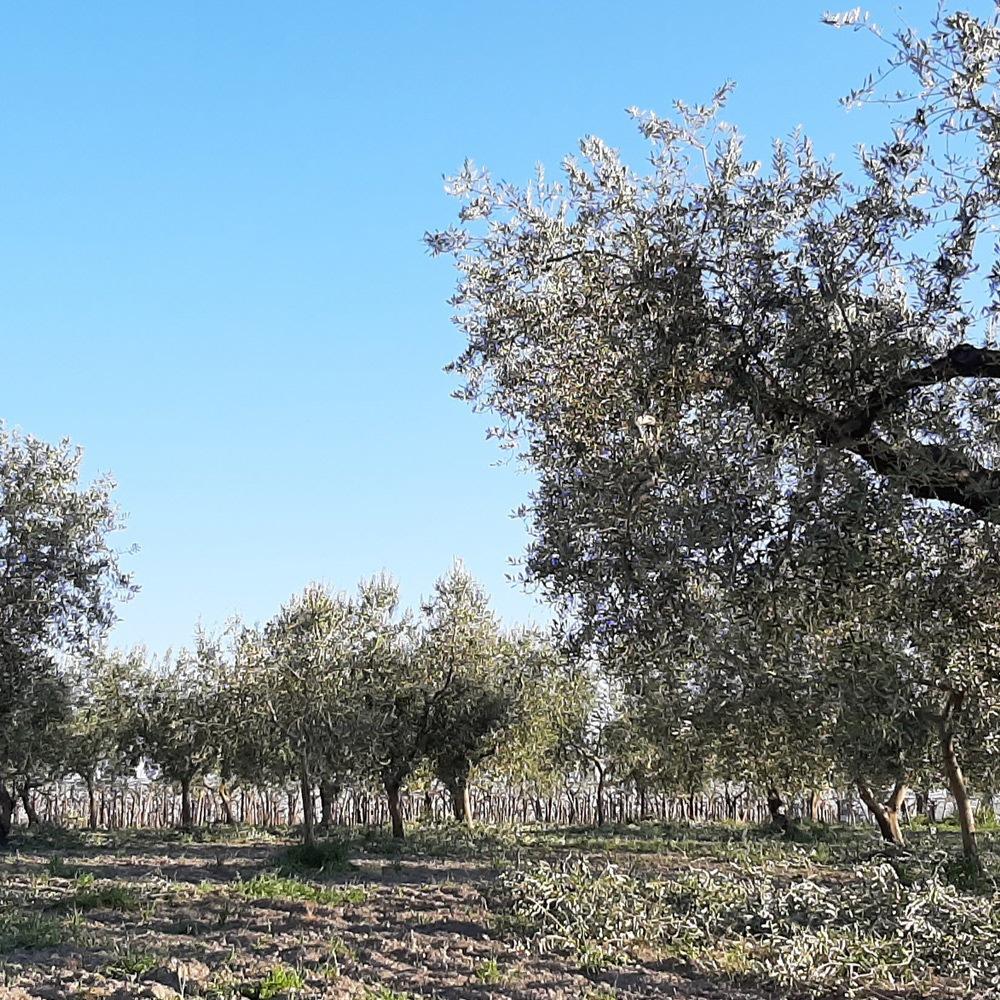 stadi-di-maturazione-olive